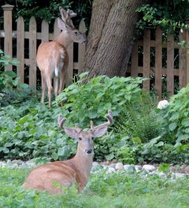 Deer in the garden - again 7-8-14
